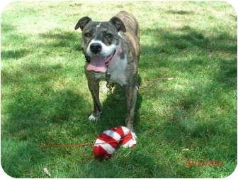 American Pit Bull Terrier Mix Dog for adoption in Pittsbugh, Pennsylvania - Tiger Lily