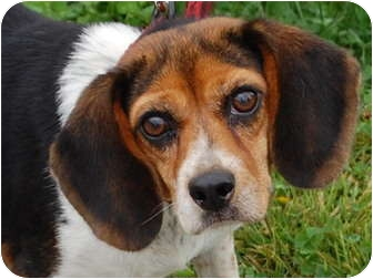 Beagle Dog for adoption in North Judson, Indiana - Meredith