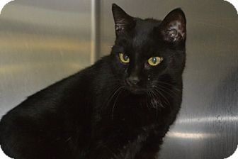 Domestic Shorthair Cat for adoption in Elyria, Ohio - Casey