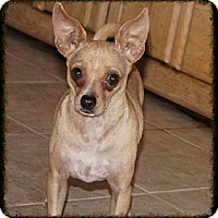 Chihuahua Mix Dog for adoption in Phoenix, Arizona - Rafael