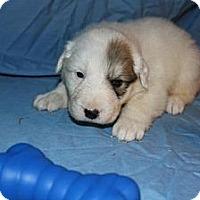 Adopt A Pet :: Sawyer - Stilwell, OK