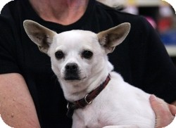 Chihuahua Mix Dog for adoption in Mesa, Arizona - Luna