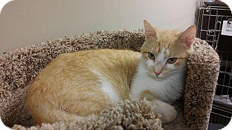 Domestic Shorthair Cat for adoption in Marietta, Georgia - Brendan