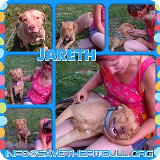 Vizsla/Pit Bull Terrier Mix Dog for adoption in Chicago, Illinois - Jareth