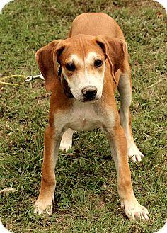Labrador Retriever/American Bulldog Mix Puppy for adoption in Staunton, Virginia - Buckley