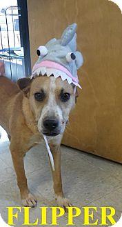 Labrador Retriever Mix Dog for adoption in Franklin, North Carolina - FLIPPER