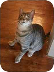 Domestic Mediumhair Cat for adoption in Houston, Texas - Zeus