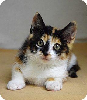 Domestic Shorthair Kitten for adoption in Dublin, California - Zinnia