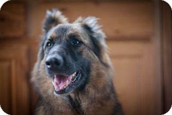 Belgian Tervuren/German Shepherd Dog Mix Dog for adoption in Springfield, Oregon - Sashi