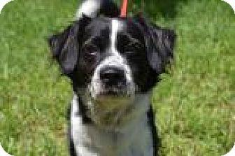 Collie Mix Dog for adoption in Miami, Florida - Scottie