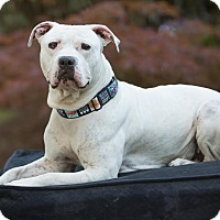 Adopt A Pet :: Ari - Salem, OR