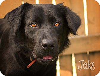 Flat-Coated Retriever Mix Dog for adoption in Martinsville, Indiana - Jake