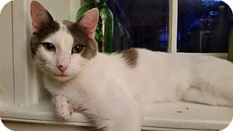 Domestic Shorthair Cat for adoption in Cheltenham, Pennsylvania - Deacon!