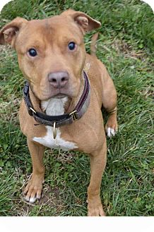 American Staffordshire Terrier/American Pit Bull Terrier Mix Dog for adoption in nashville, Tennessee - Barnaby
