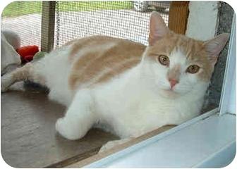 Domestic Shorthair Cat for adoption in Honesdale, Pennsylvania - Ridge