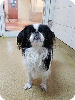 Japanese Chin Dog for adoption in Miami, Florida - Oreo 2