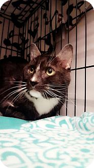 Domestic Shorthair Cat for adoption in Chaska, Minnesota - Templeton