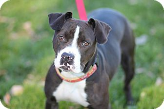 Boxer/American Pit Bull Terrier Mix Dog for adoption in Midland, Michigan - Corrine - Foster Care - NO FEE