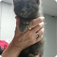 Domestic Shorthair Kitten for adoption in Paducah, Kentucky - Genie