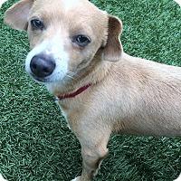 Adopt A Pet :: Dexter - Chula Vista, CA