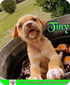 Hound (Unknown Type) Mix Puppy for adoption in Pensacola, Florida - Tiny