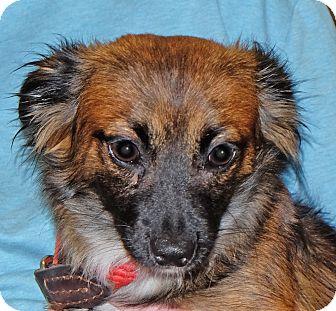 Chihuahua Mix Dog for adoption in Spokane, Washington - Duncan