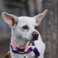 Adopt A Pet :: Annabelle - Missoula, MT