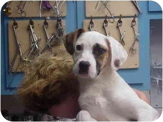 Boxer/Hound (Unknown Type) Mix Puppy for adoption in Manassas, Virginia - Dasiy