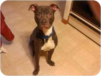 Pit Bull Terrier/Boxer Mix Dog for adoption in Youngwood, Pennsylvania - Manley