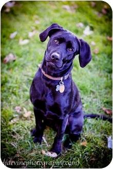 Labrador Retriever/Chihuahua Mix Dog for adoption in West Richland, Washington - Dutch