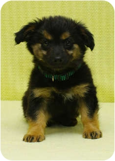 Husky/Shepherd (Unknown Type) Mix Puppy for adoption in Westminster, Colorado - TOGO