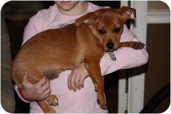 Dachshund/Chihuahua Mix Puppy for adoption in Prince William County, Virginia - stevie