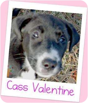 American Pit Bull Terrier Puppy for adoption in Newington, Connecticut - Cass Valentine