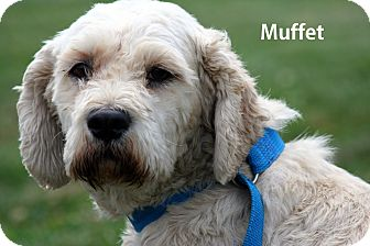 Cockapoo Dog for adoption in Gallatin, Tennessee - Miss Muffett