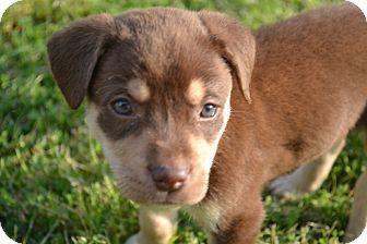 Retriever (Unknown Type)/Hound (Unknown Type) Mix Puppy for adoption in Smithfield, North Carolina - Bear