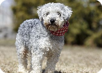 Schnauzer (Miniature)/Poodle (Miniature) Mix Dog for adoption in Ile-Perrot, Quebec - Pink