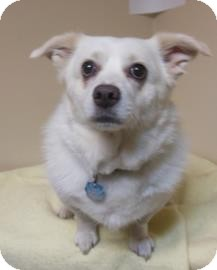 American Eskimo Dog/Papillon Mix Dog for adoption in Gary, Indiana - Willie