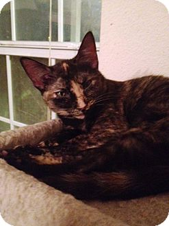 Domestic Shorthair Kitten for adoption in Houston, Texas - Princess Penelope