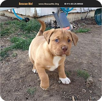American Pit Bull Terrier/Labrador Retriever Mix Puppy for adoption in Bryan, Texas - Lila