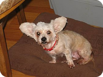Yorkie, Yorkshire Terrier/Poodle (Miniature) Mix Dog for adoption in Worcester, Massachusetts - Diva