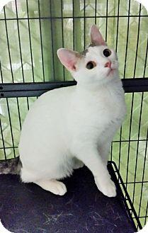 Domestic Shorthair Kitten for adoption in Freeport, New York - Daisy