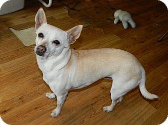 Chihuahua Dog for adoption in Umatilla, Florida - Lola