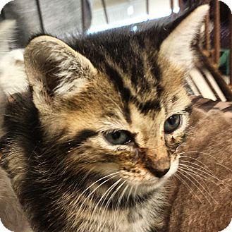 Domestic Mediumhair Kitten for adoption in Metairie, Louisiana - Andy