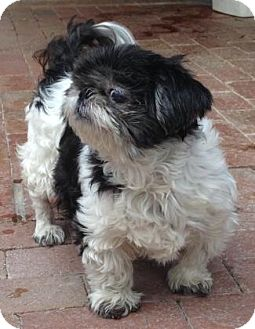 Shih Tzu Mix Dog for adoption in Tucson, Arizona - Bunny