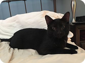 Domestic Shorthair Cat for adoption in Palatine, Illinois - Albert