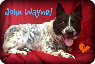 Australian Cattle Dog Mix Dog for adoption in Bryan, Texas - John Wayne