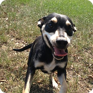 Rat Terrier Mix Dog for adoption in Lufkin, Texas - Boe