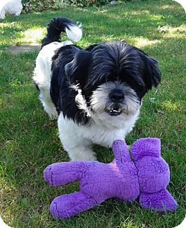 Lhasa Apso Mix Dog for adoption in Mississauga, Ontario - Brady