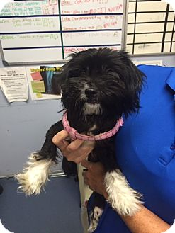 Shih Tzu Dog for adoption in Jupiter, Florida - Mittens