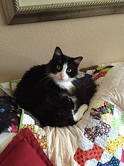 Domestic Longhair Cat for adoption in Friendswood, Texas - Kitty